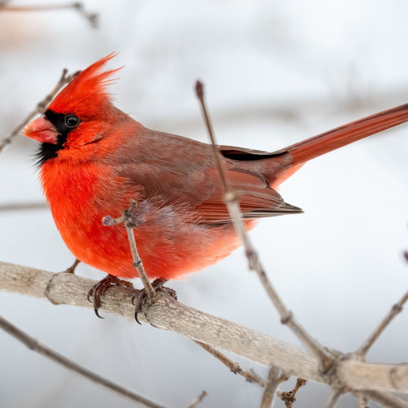 COUPE HAUTE - Rouge Cardinal