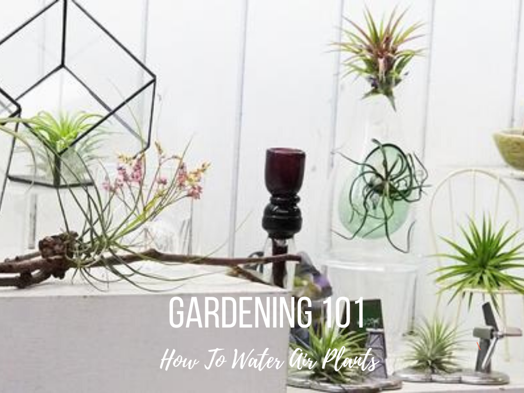 Gardening 101: How To Water Air Plants