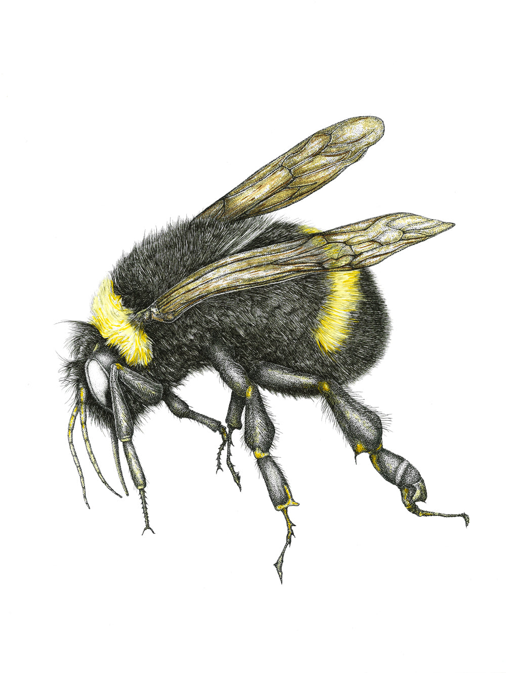 The Bumble Bee (8.5''x11'')