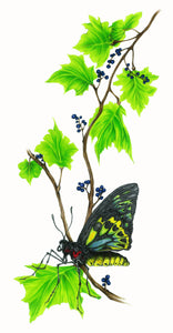 Cairns Birdwing (8.5''x11'')