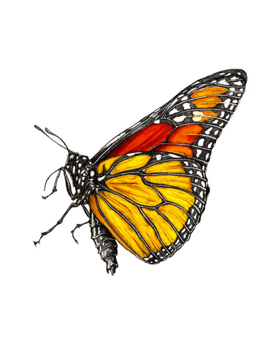 The Monarch Butterly (Giclee Print 11''x14'')