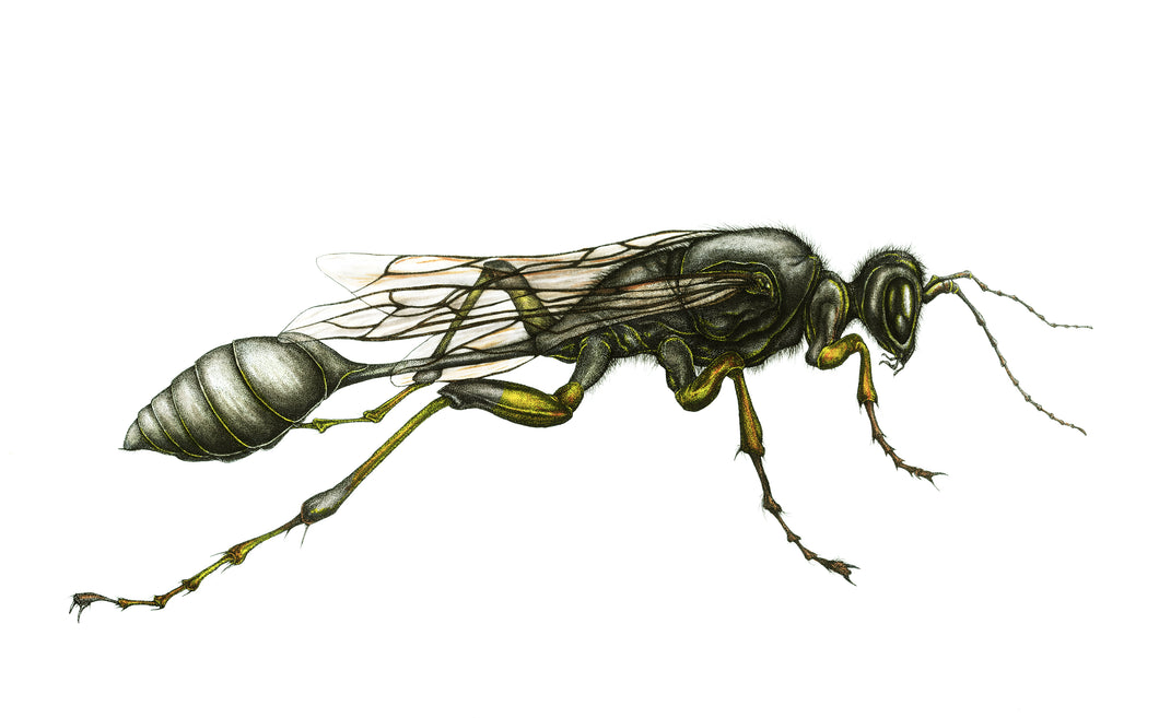 The Mud Dauber (8.5''x11'')