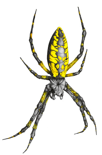 Yellow Garden Spider (8.5''x11'')
