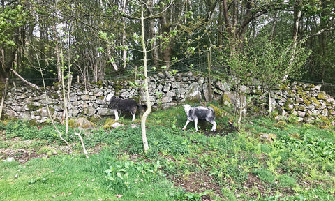 Herdwick Sheep against a stone wall