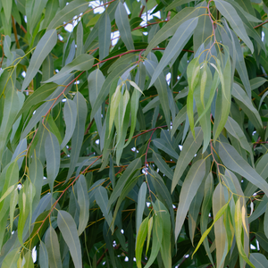 Photograph of eucalyptus leaves
