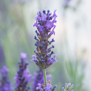 Photograph of lavender flowers