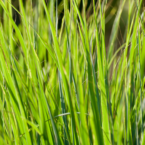 Photograph of lemongrass leaves