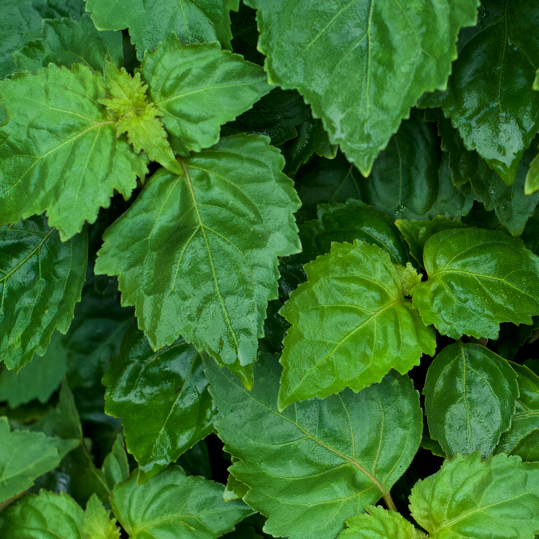 Photograph of patchouli leaves