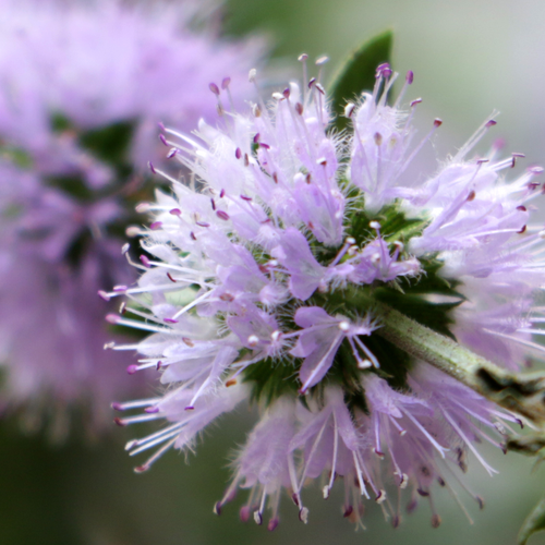 Photograph of pennyroyal flowers