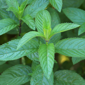 Photograph of peppermint leaves