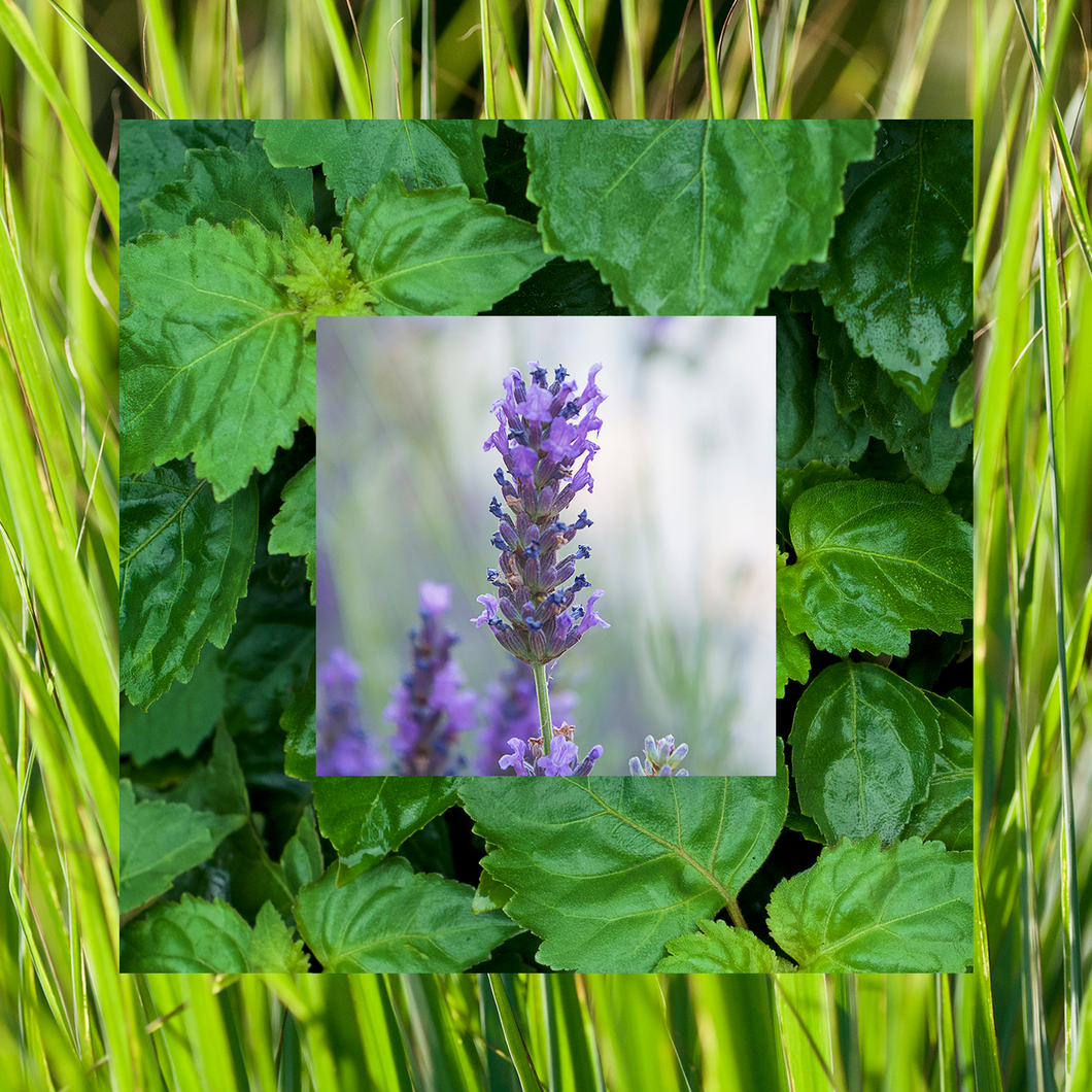 Photograph of lavender, lemongrass, and patchouli plants
