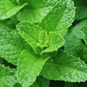 Photograph of spearmint leaves