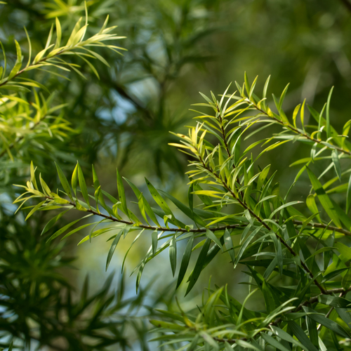 Photograph of tea tree leaves