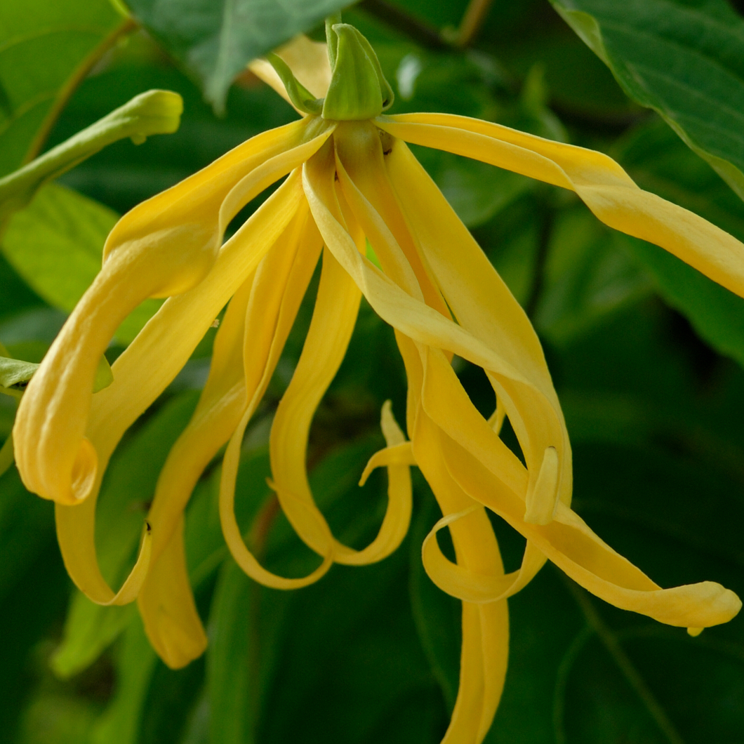 Photograph of a ylang ylang flower