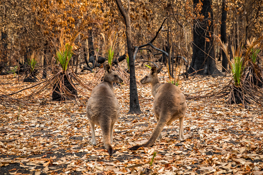 Australian bush fires on the south east coast of NSW kangaroos sad