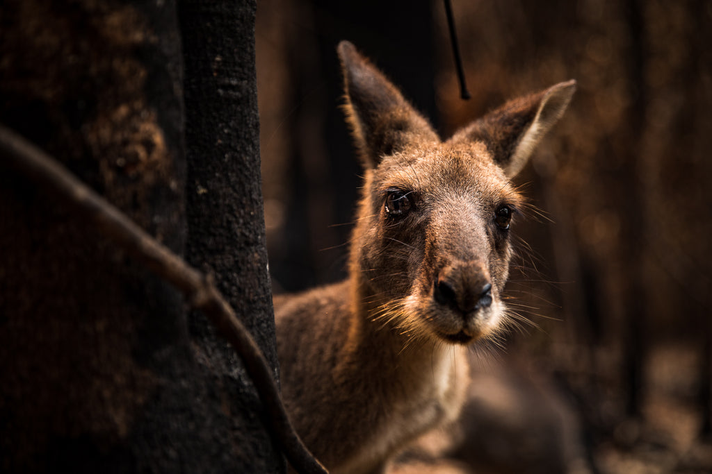 Australian Bush fire crisis on the south east coast of NSW kangaroo aftermath