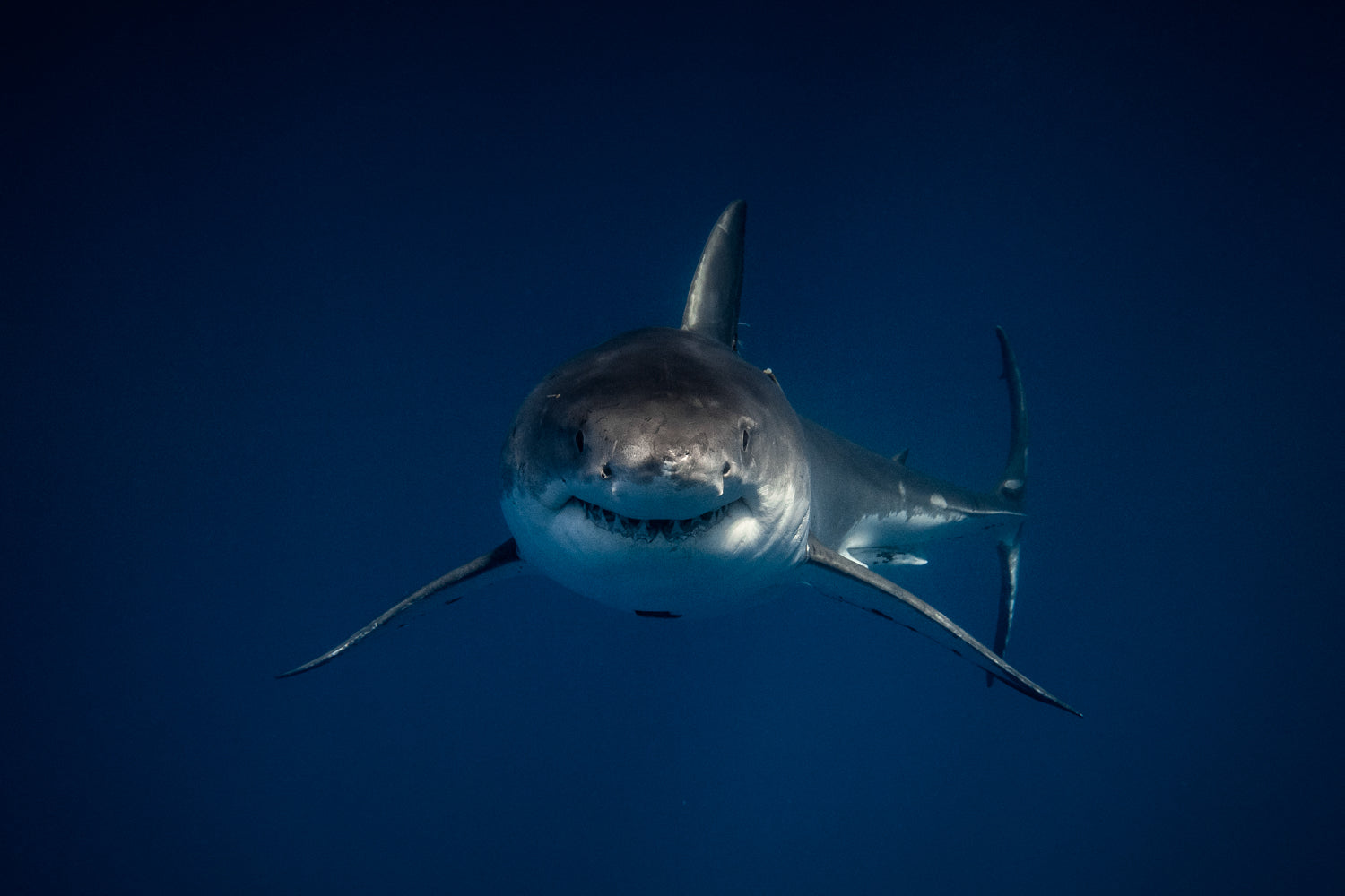 Face to face with a Great White Shark
