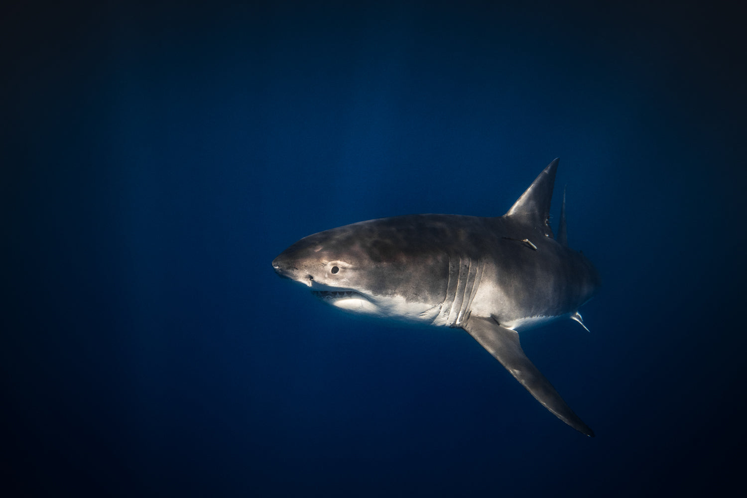 An attentive Great White Shark