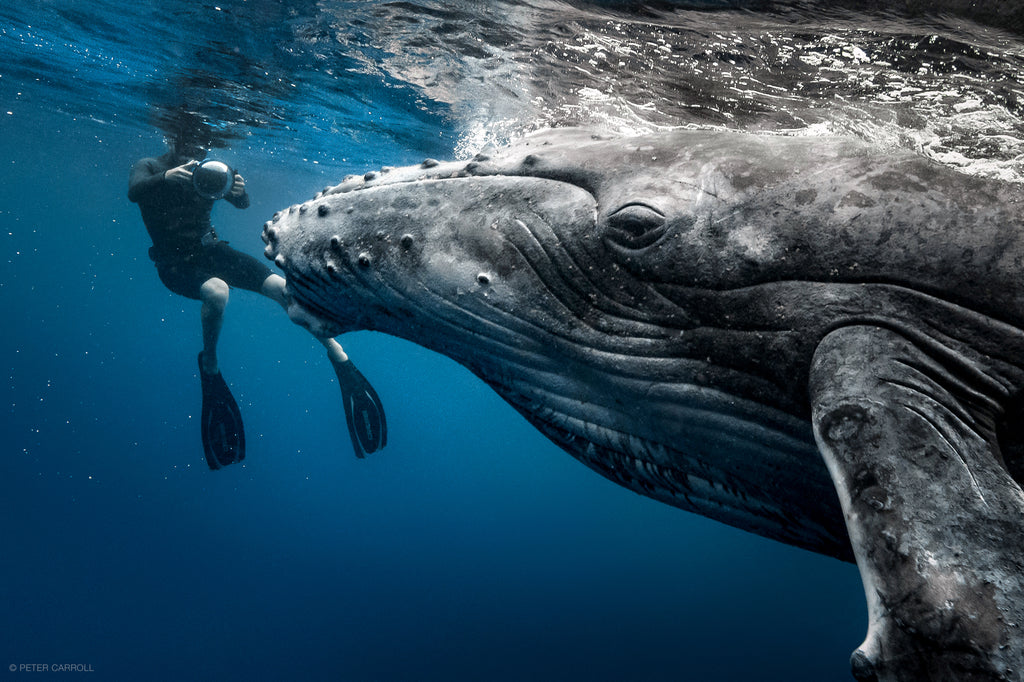 Thurston Photographing Whales Underwater in Tonga