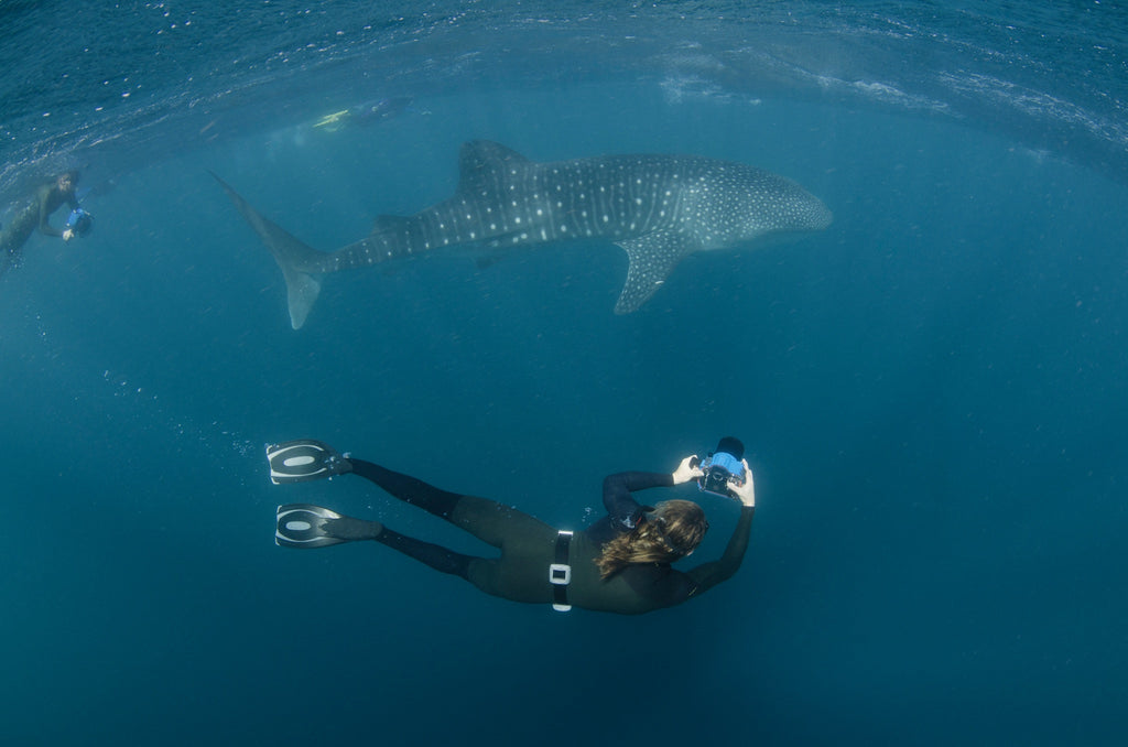 Thurston Shooting Whale Sharks