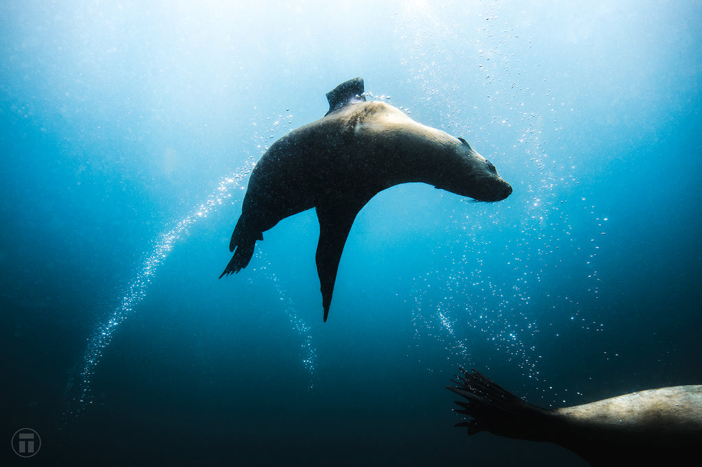 Seal flying around me on scuba Cressi