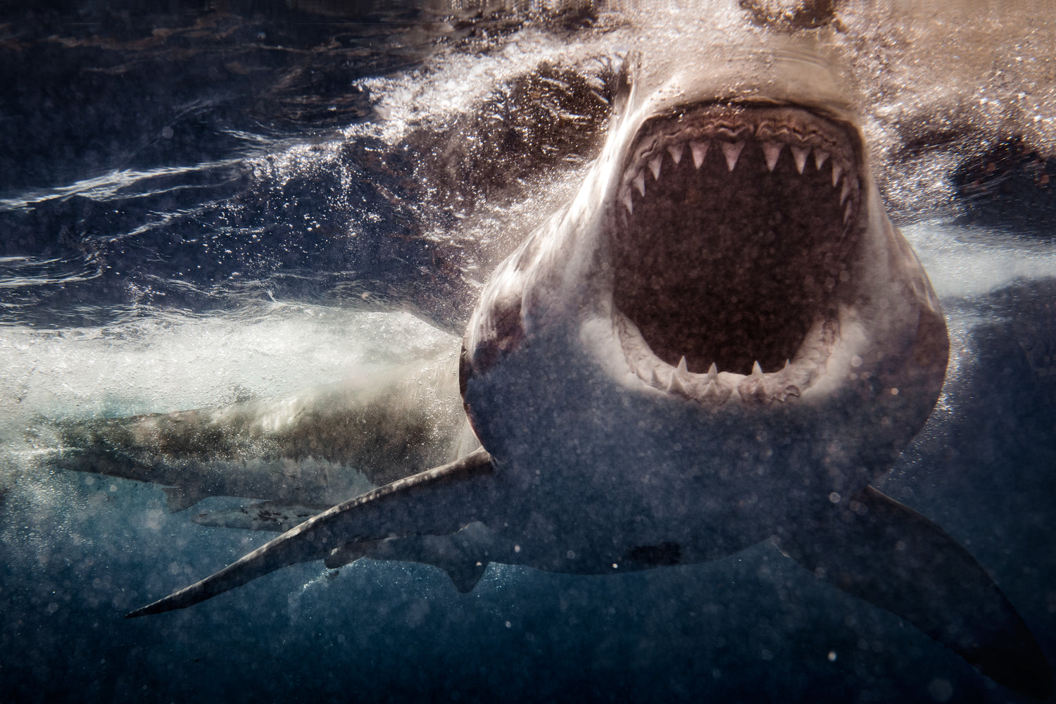 Great White Shark open mouth photographed by Thurston Photo