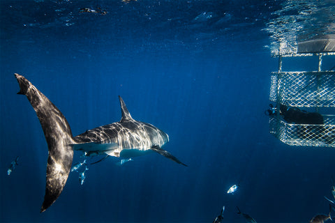 Thurston photographing great white sharks