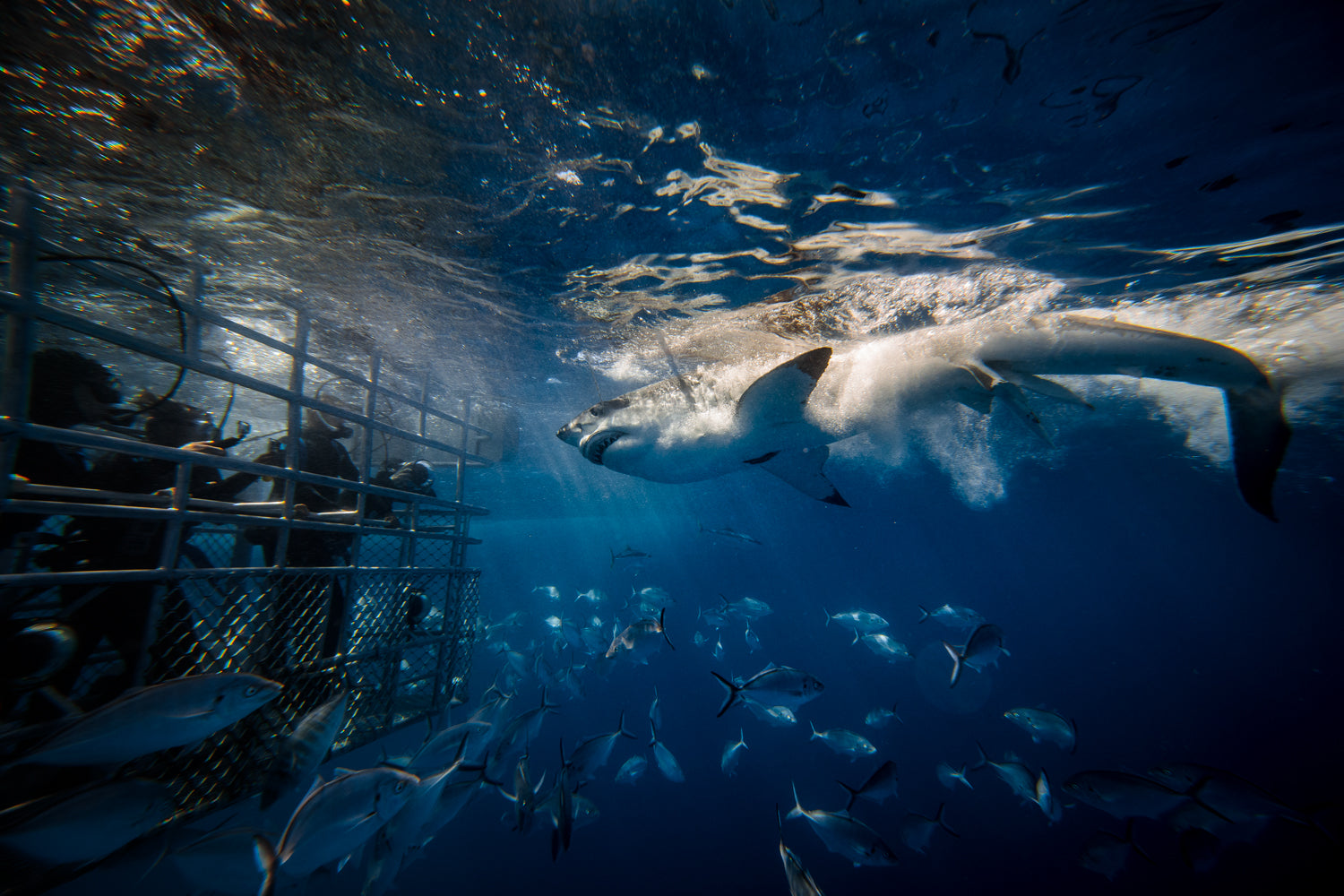 Great White Shark Cage Diving with Calypso Charters