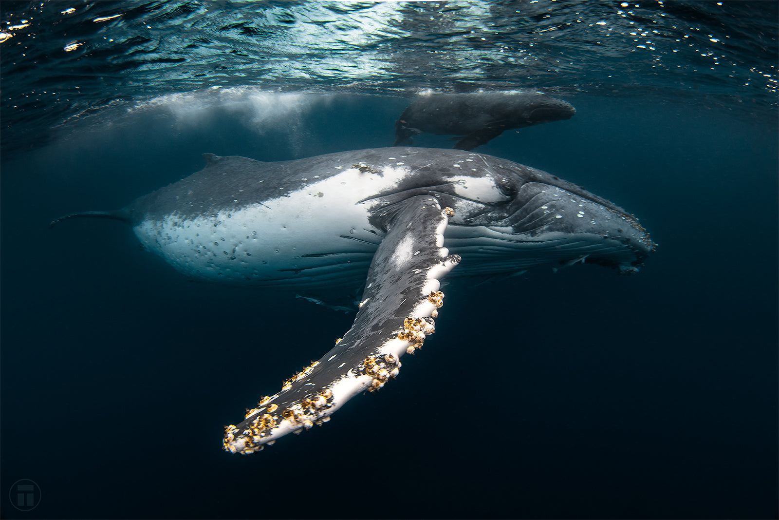 Getting close swimming with humpback whales in Tonga