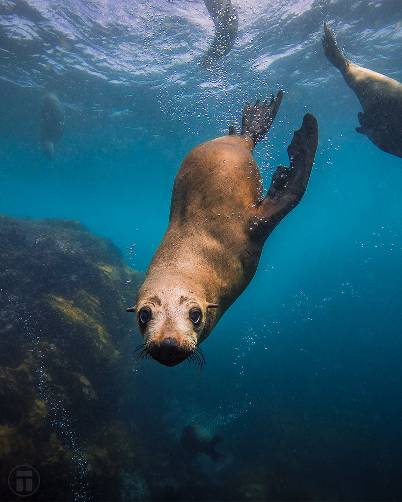A cute Australian fur seal sticking its nose in the camera