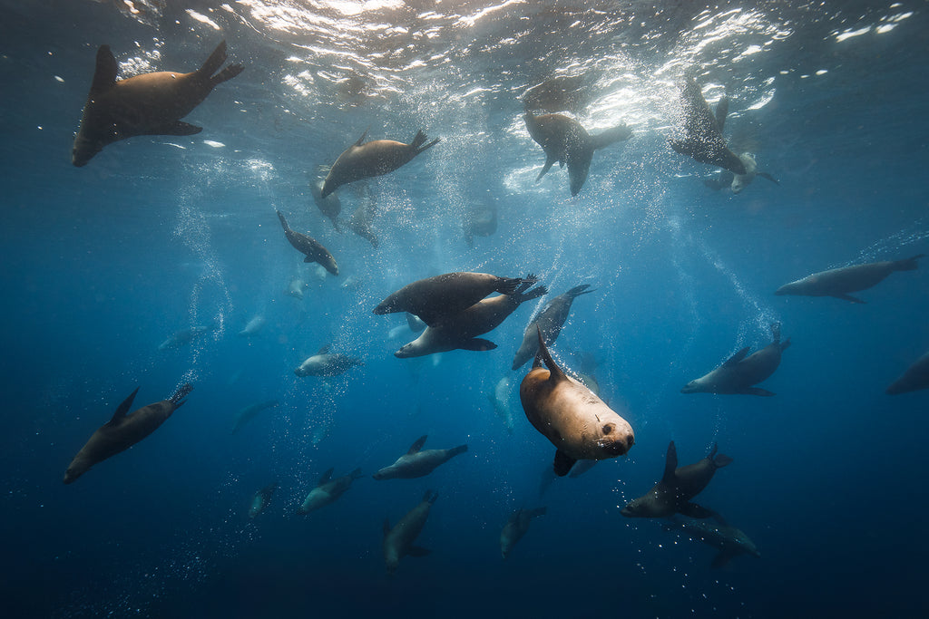 Diving with fur seals at Montague Island