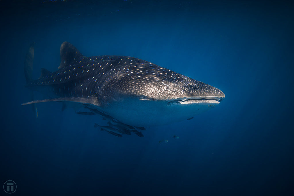 Whale shark by Thurston Photo