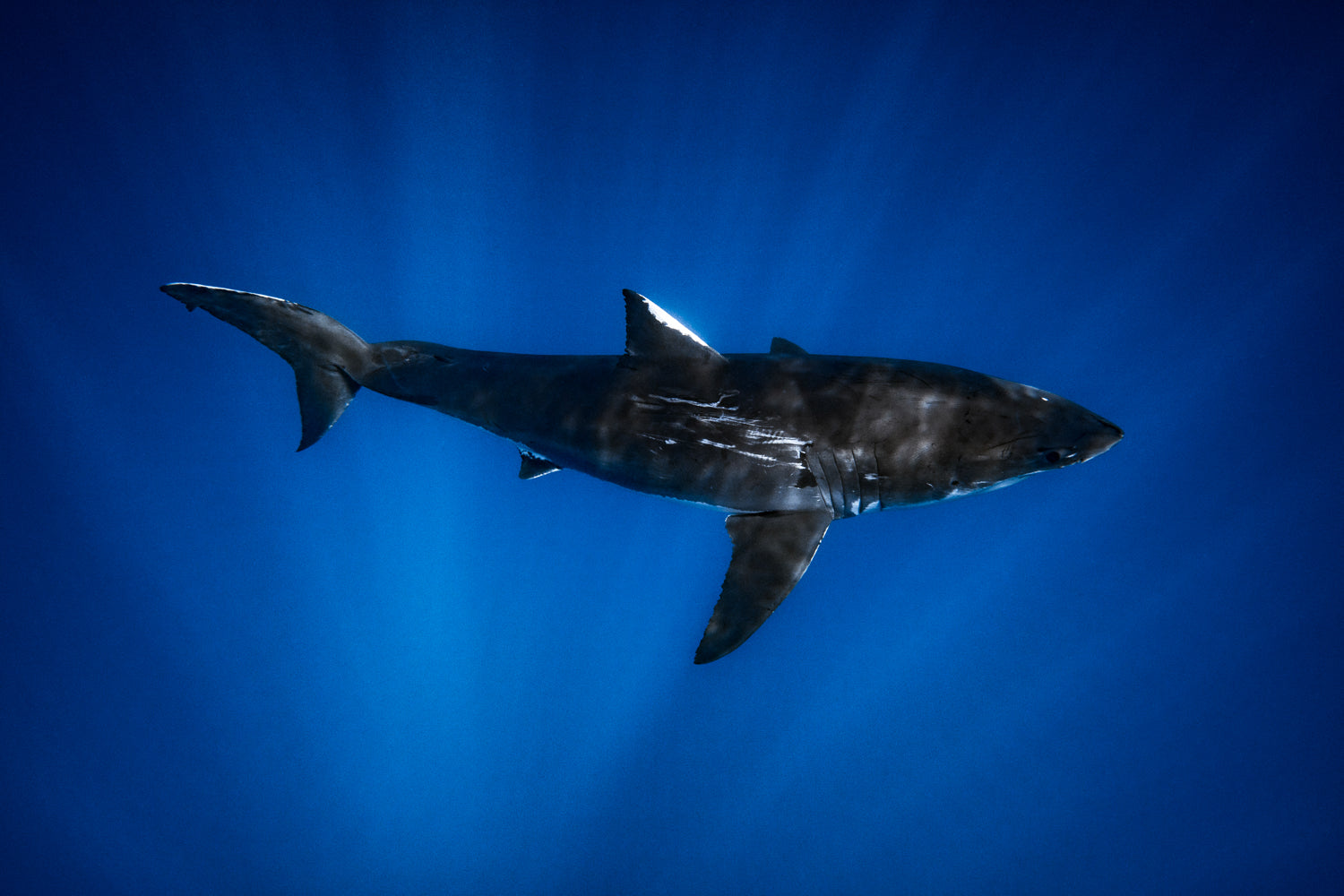 The body of a Great White Shark in the Deep Blue Sea