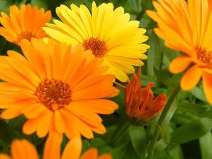 Calendula oil: gold for the skin!