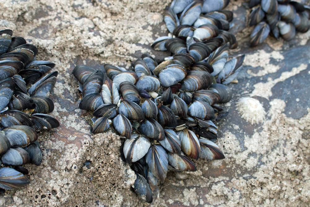 Closeup Mussels, Newquay Cornwall