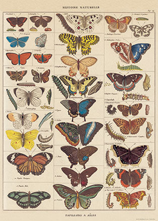 Poster. Natural History Butterflies