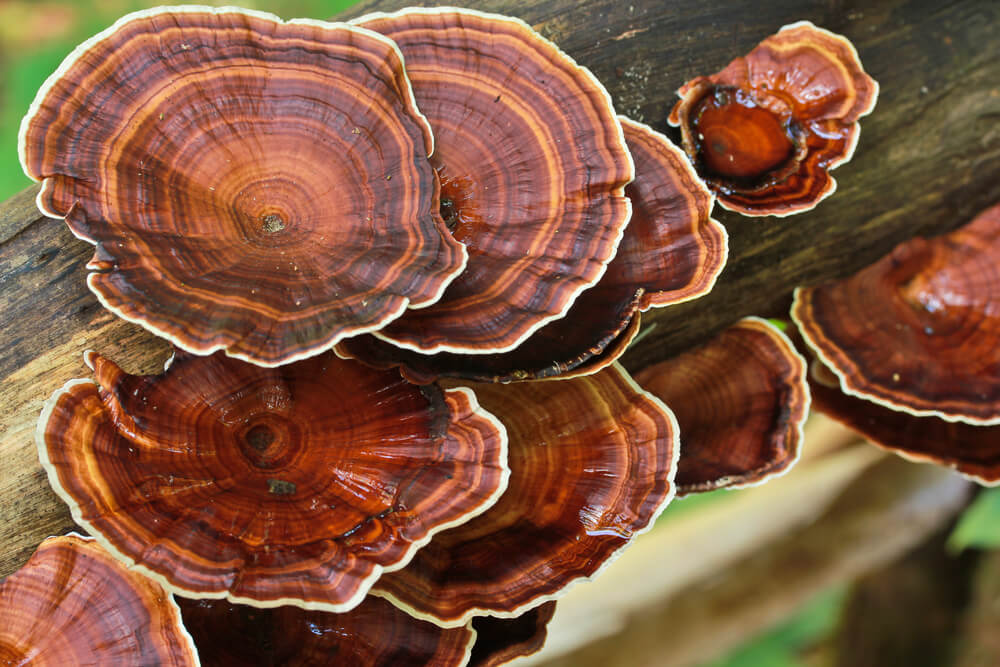 "The Reishi Mushroom - The ""Mushroom of Immortality"""