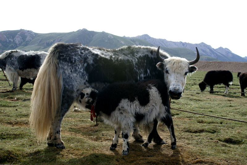 Tibetan yak and calf