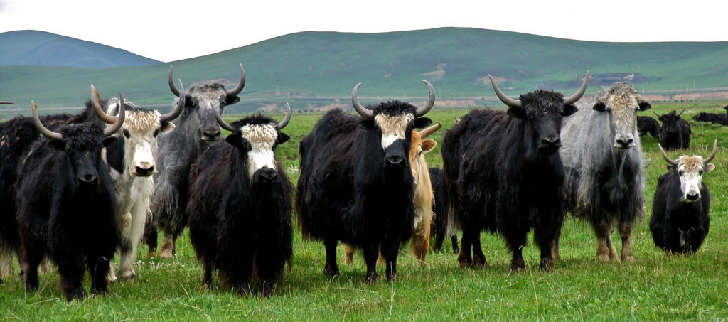 Image Of A Yak: Know Your Yarn: Yak