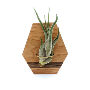 Geometric Wood Air Plant Holder - Wall Hanging and Magnet