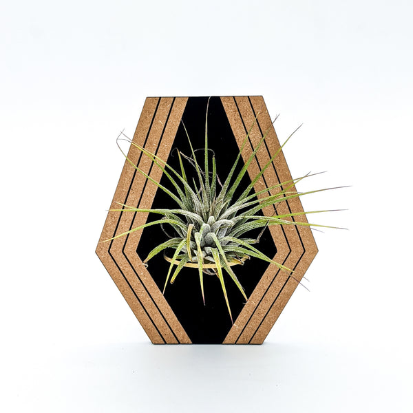 Blackest Black Geometric Wood Air Plant Holder - Wall Hanging and Magnet