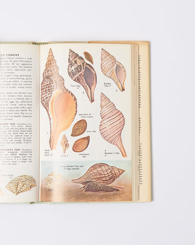 Seashells of North America: A Golden Field Guide