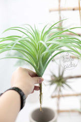 Faux Air Plants, Decor, 3littlepicks - 3LittlePicks