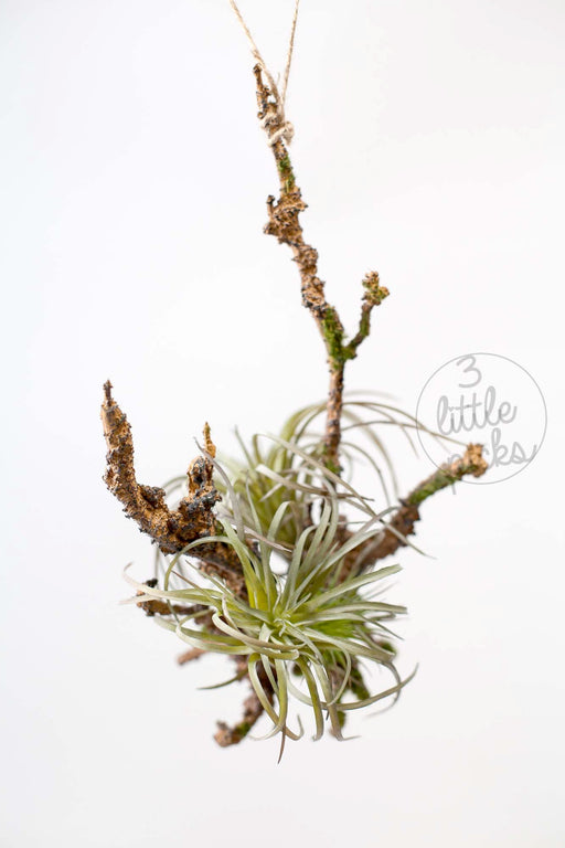 Air Plant Hanging Branch, Decor, 3littlepicks - 3LittlePicks