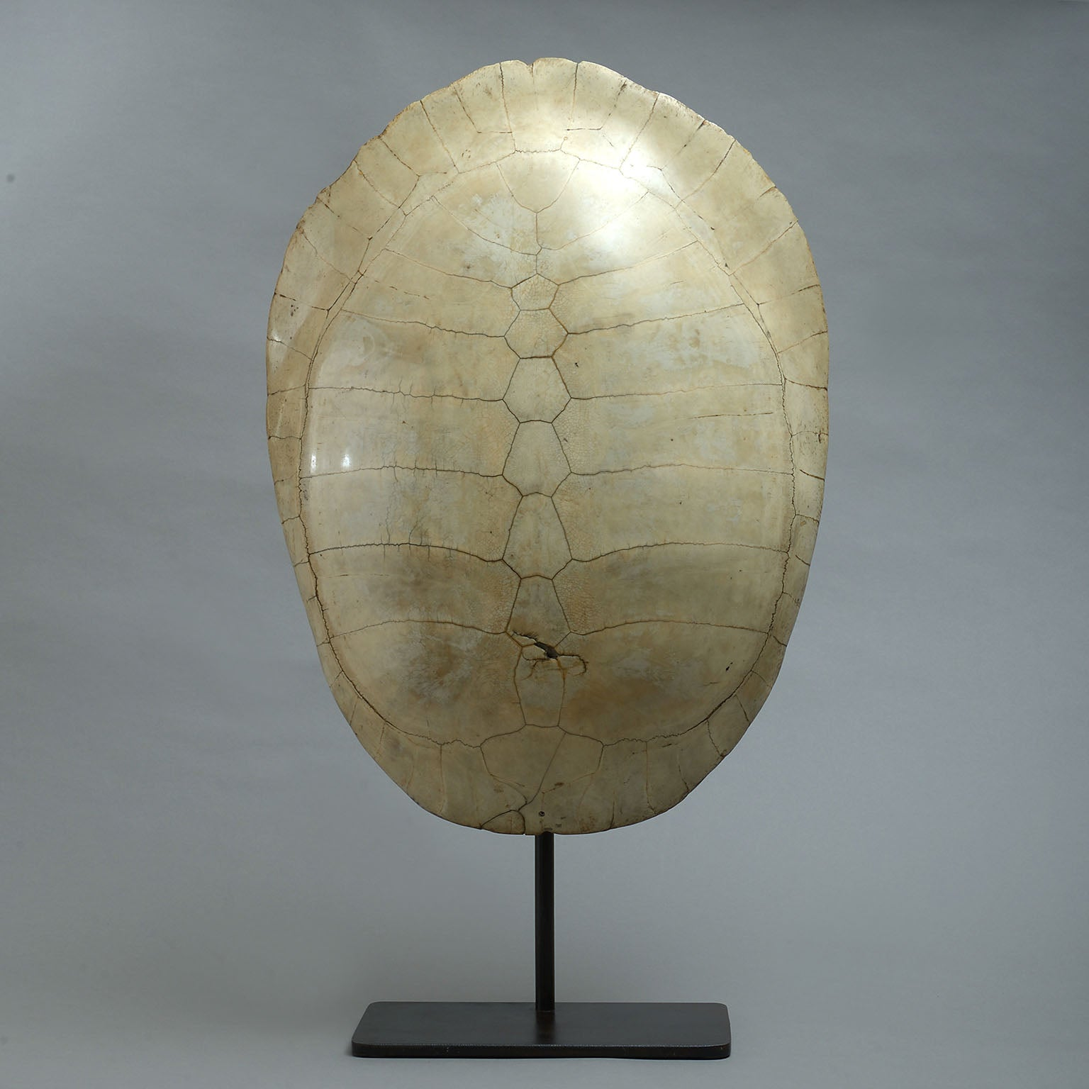 Amazon River Turtle Shell