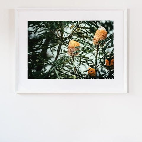 ART PRINT | Banksia 1 by Denise Rix