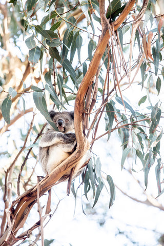 ART | Photographic Print Koala by Kara Rosenlund