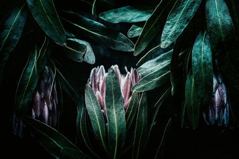 ART PRINT | Protea 2 by Denise Rix