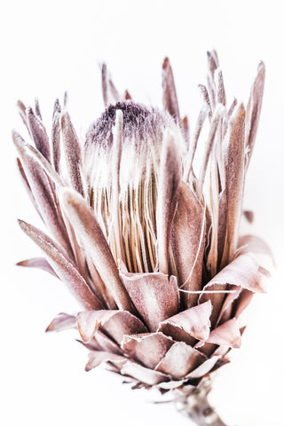 ART PRINT | Protea Blush by Denise Rix
