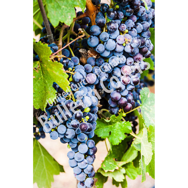 Bulletin: Grapes on the Vine (Package of 50)